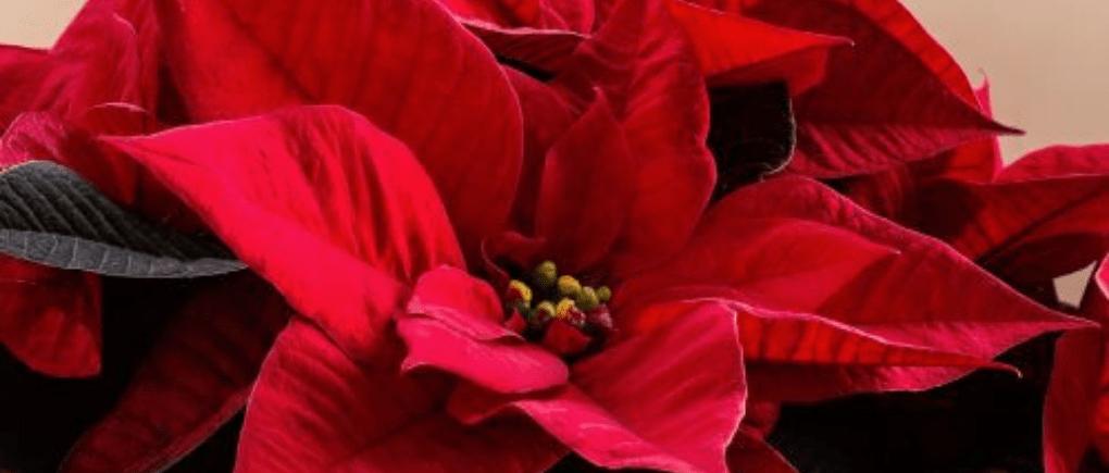 Qué flores se compran en Guatemala para Navidad