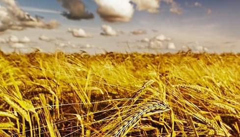 Campos de trigo de CMI alimentos